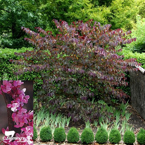 cercis_forest_pansy.jpg